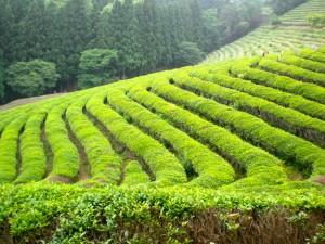 tea leaves plantation